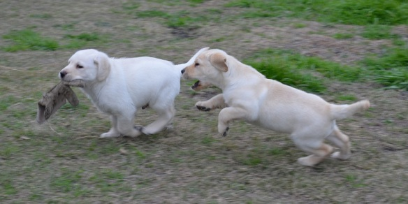 Two yellow Labrador Retriever puppies.  One with a glove and their other chasing him