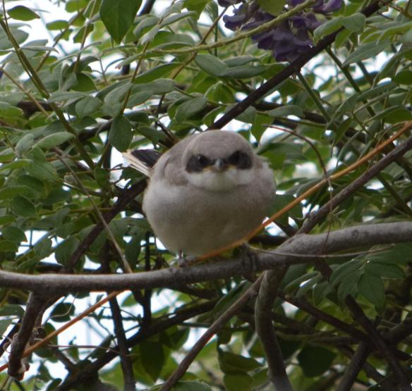 loggerhead shrike fledgling its a long story