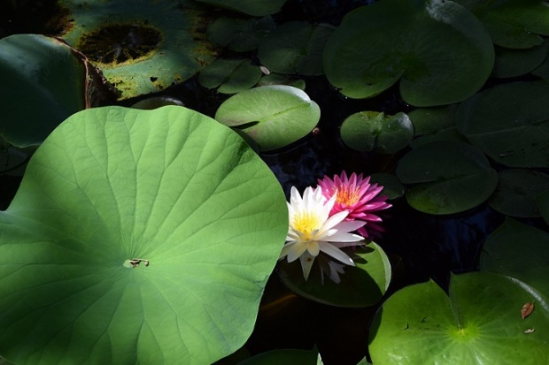 Pond lilies, one pink one white