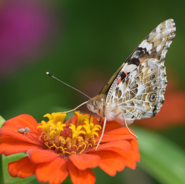 Butterfly and spider on an orange flower