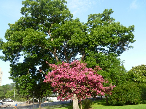 Two trees at the Texas Capitol: one large, green pecan tree, one small, pink Crepe Myrtle