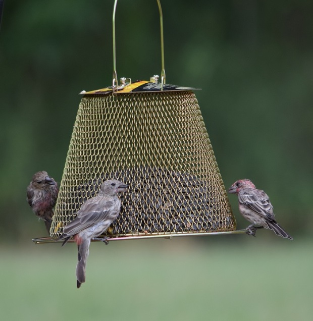 Three finches at a hanging mesh feeder