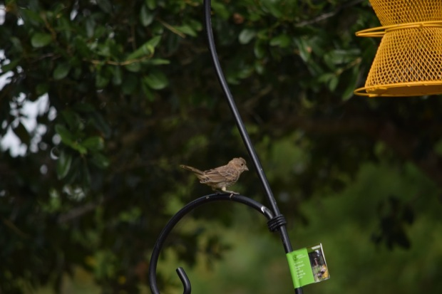 A finch sitting on the metal feeder hanger