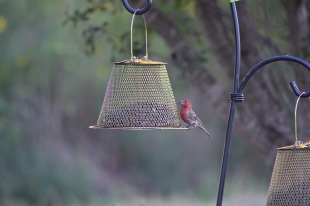 A finch at a hanging feeder