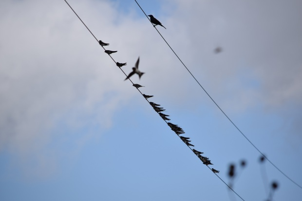 Two utility wires, one with about 20 swallows sitting on it, the other wire has one grackle sitting on it