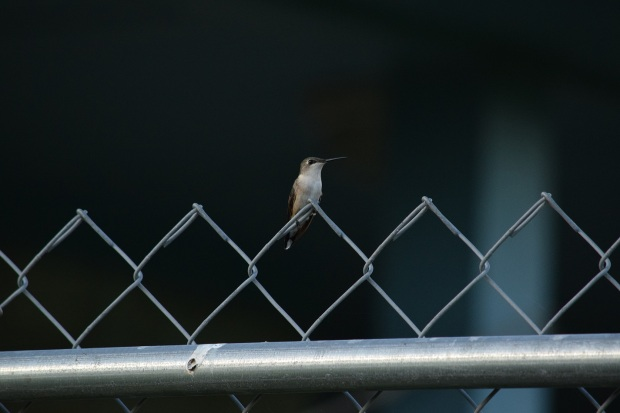 A hummingbird sitting on a wire fence