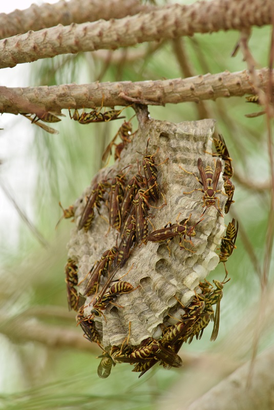 A wasp nest with wasps in a pine tree