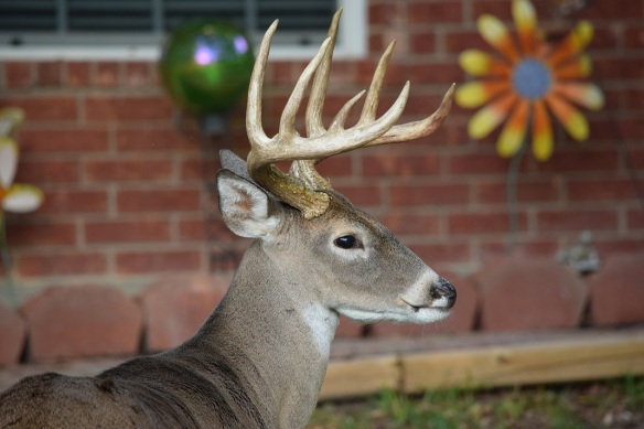 A male white-tailed deer with antlers, eight points