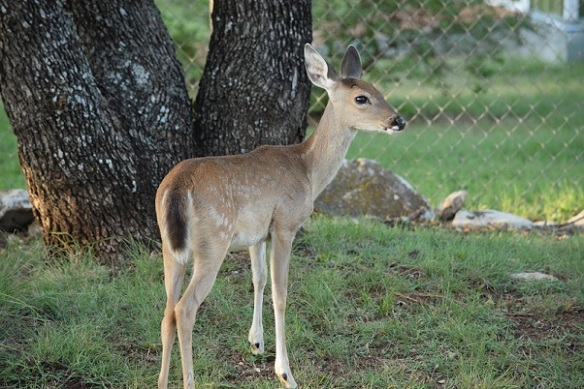 A young white-tailed deer with some spots