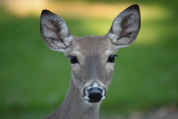 A head shot of a female white-tailed deer