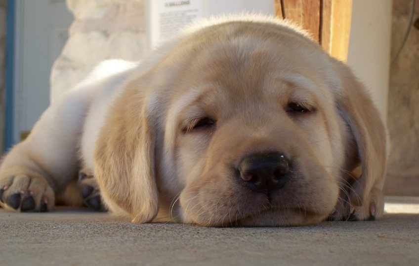 A yellow Labrador puppy, very tire, can't hardly keep his eyes open