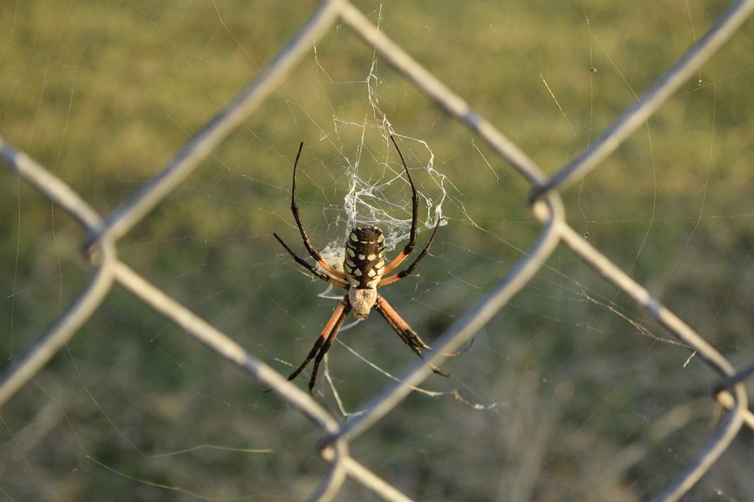 A spider, an Argiope Aurantia, near a wire fence