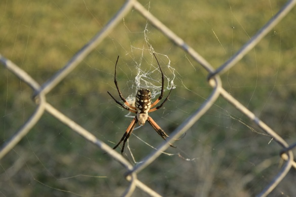 A spider, an Argiope Aurantia, near a wire fence