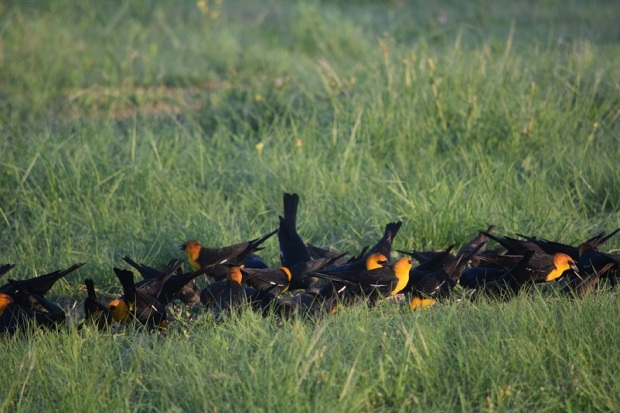 Another photo of the yellow-headed blackbirds eating seed on the ground