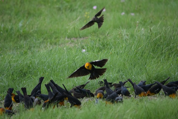 A lot of yellow-headed blackbirds eating the birdseed on the ground