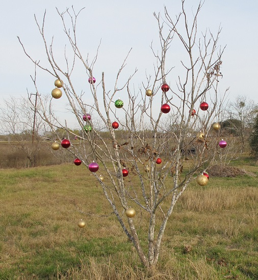 A small pecan tree decorated with Christmas outdoor decorations