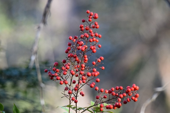 Red berries in the sun