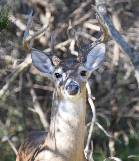 A head shot of a white-tailed buck with eight points on his antlers