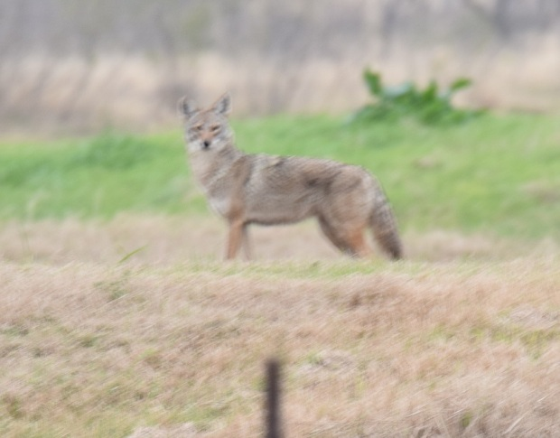 a blurred photo of a coyote
