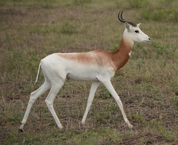 A dama gazelle at the Texas Disposal Systems exotic ranch in Creedmoor, Texas