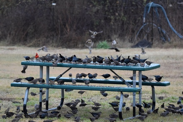 Lots of birds eating off a picnic table that is used as a bird feeder