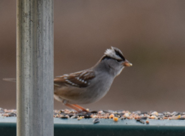 A white-crowned sparrow eating bird seed on the picnic table