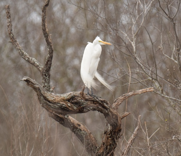 A Great White Heron on a tree branch