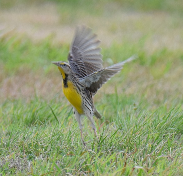 A Western Meadowlark bird taking flight