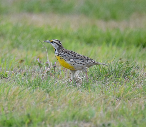 A Western Meadowlark bird on the ground