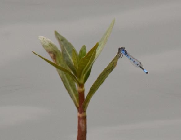 Blue-ringed Dancer dragonfly