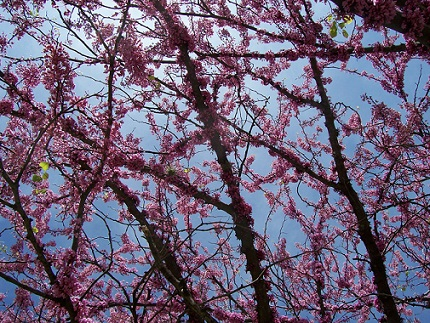 Mexican Redbud in full bloom