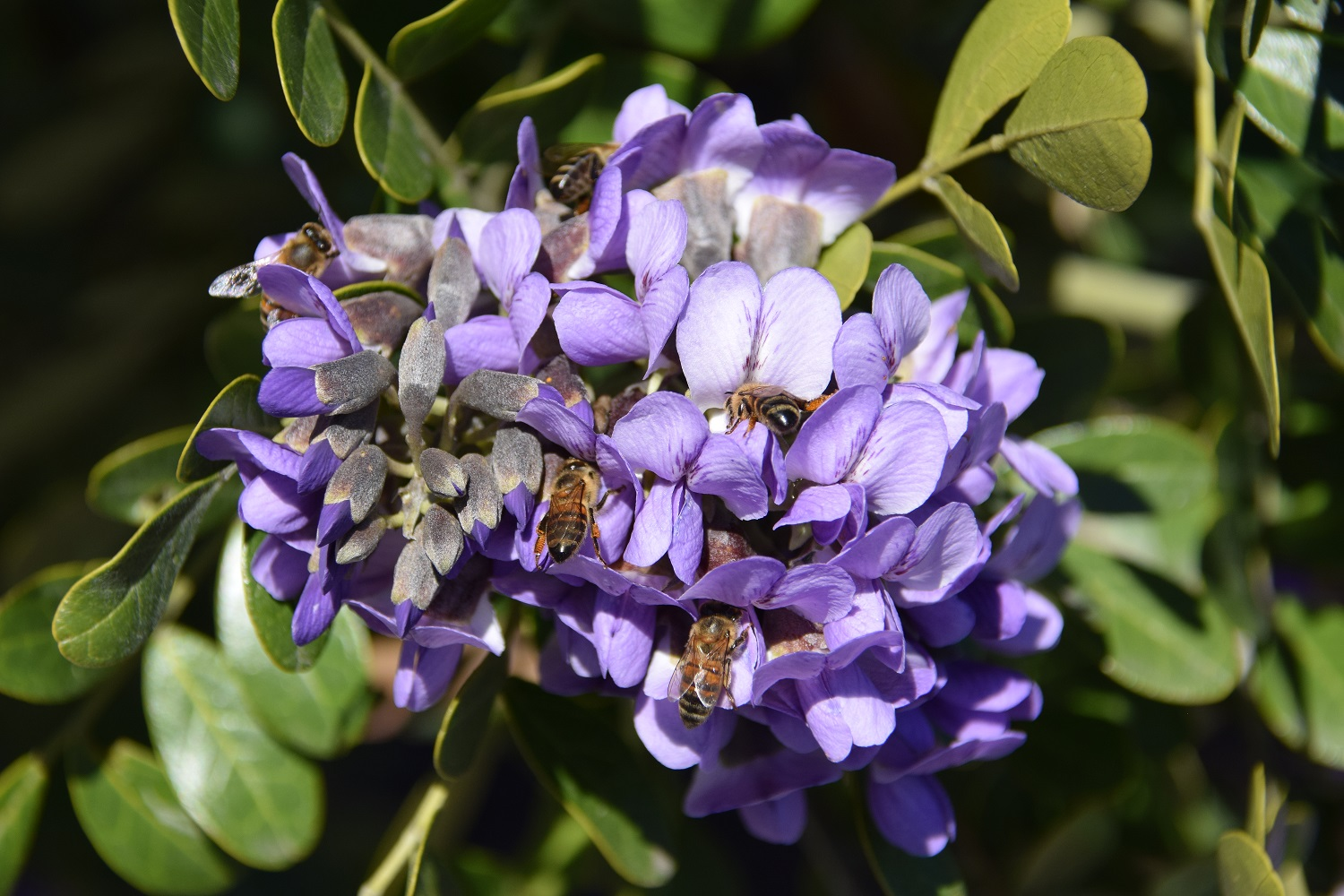 A Mountain Laurel bloom with five bees collecting pollen