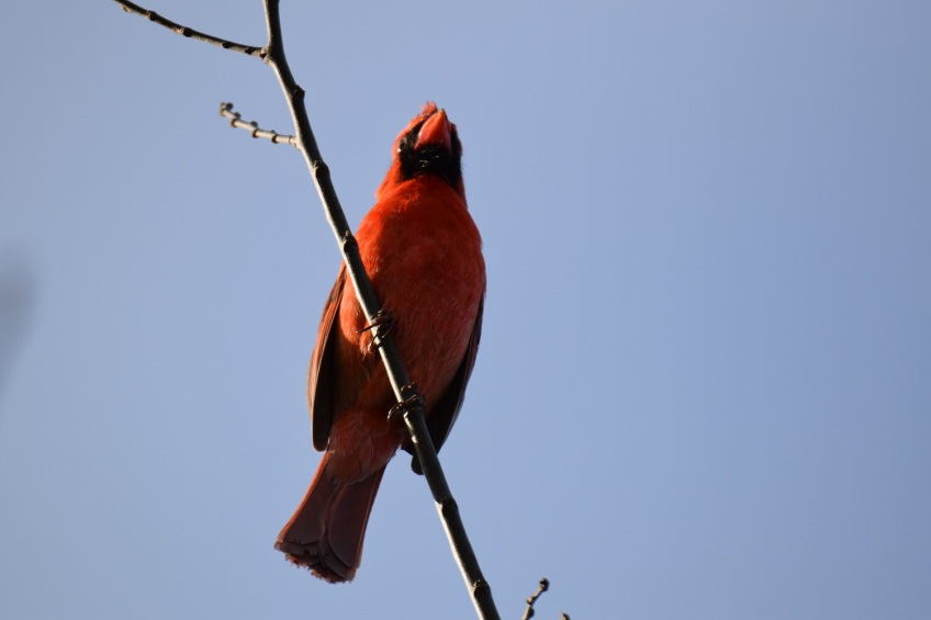 A male Northern Cardinal at the top of a tree, singing