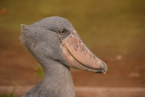 Shoebill Stork at the Houston Zoo