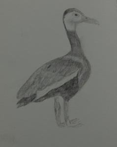 Sketch of the Black-bellied Whistling Duck