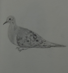 Sketch of a Mourning Dove