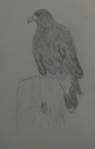 Sketch of a Harris Hawk