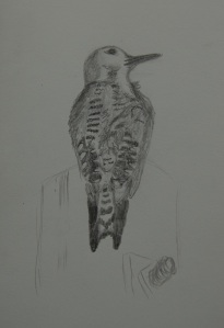 Sketch of a Ladder-backed Woodpecker