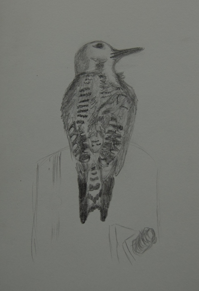 Sketch of a Ladder-backed Woodpecker