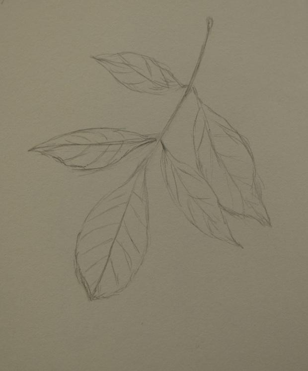 Ash Tree Leaf