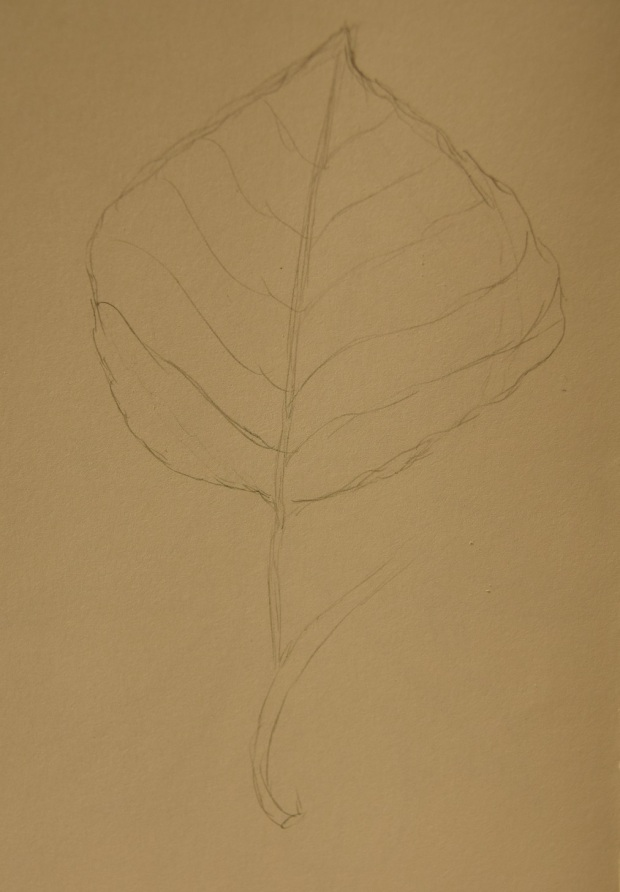 Chinese Tallow leaf sketch