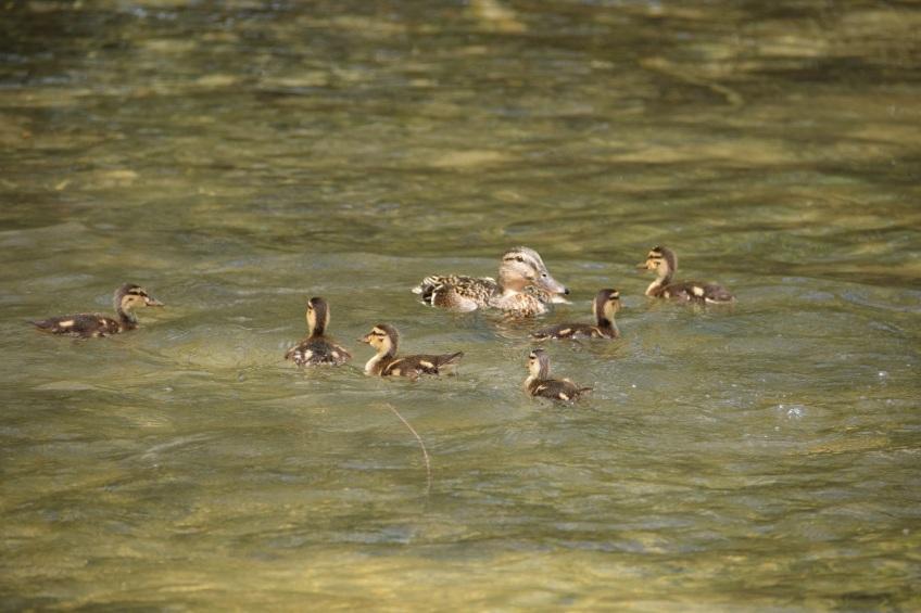 Female Mallard duck and her ducklings
