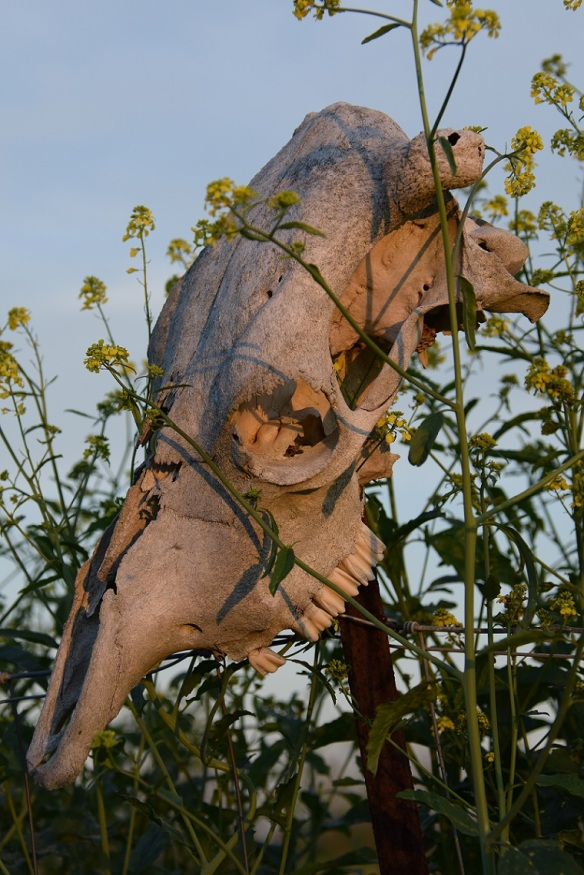 A cow skull on a fence post, in the midst of yellow flowers