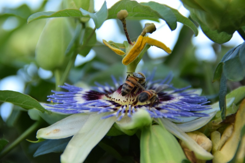 Passion flower with two bee butts
