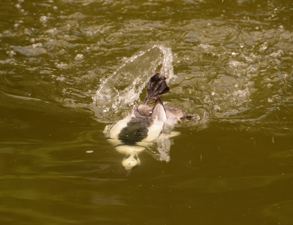 Smew diving underwater for food