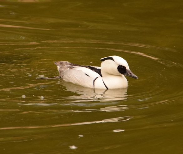 Smew, checking out lunch possibilities