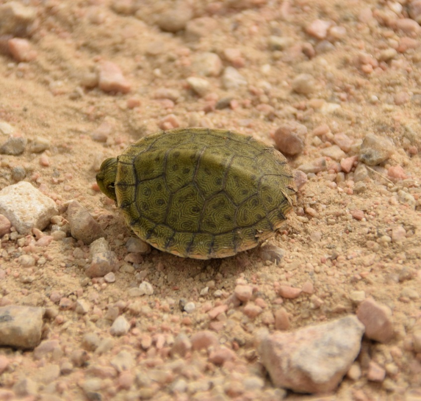 A tiny turtle barely peeking its head out of the shell