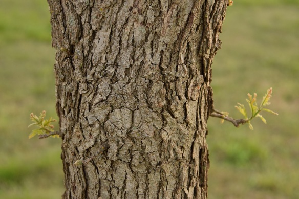 A trunk of a Burr Oak tree with two new twigs starting to grow out, one on each side