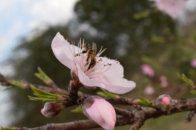Peach blooms 2015