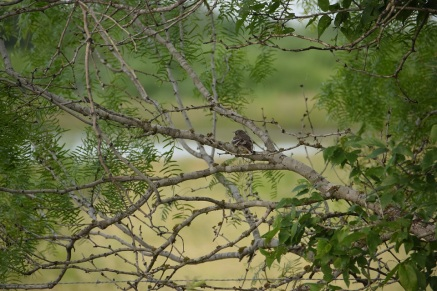 Second baby bird in a Mesquite tree